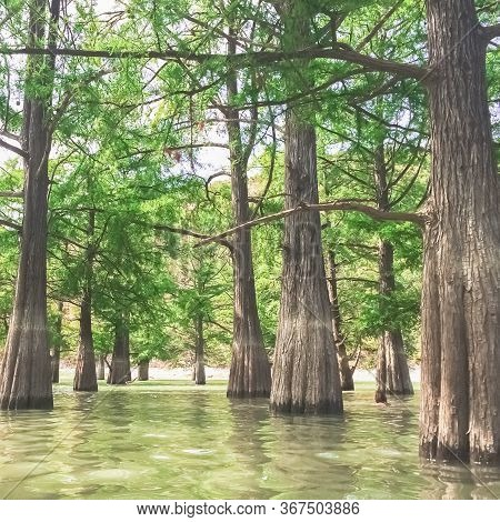Cypress Grove In The Waters Of The Lake. Beautiful Green Cypress Trunks In Water Close-up And Top Vi