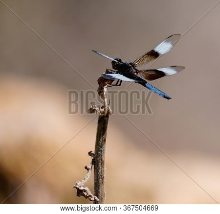 Close Up Of A 4 Winged, Blue Tailed Dragonfly Resting On A Dead Flower Stalk.