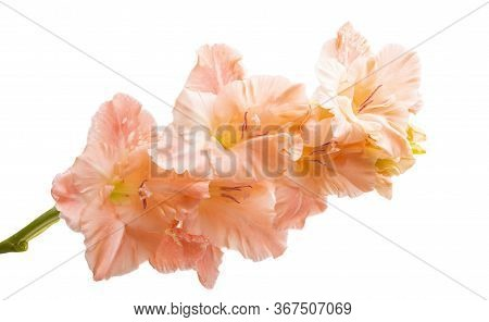 Gladiolus Pistil Flower Isolated On White Background