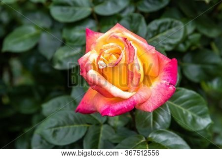 Yellow Rose With Pink Petals On Natural Green Background.