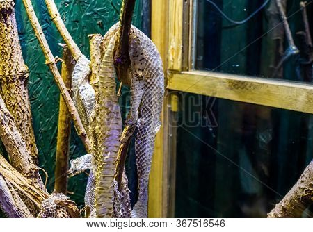 Closeup Of A Shed Snake Skin Moult Hanging On A Branch, Ecdysis Of A Mexican Kingsnake
