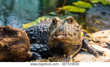 Front Closeup Of A African Dwarf Crocodile In Closeup, Tropical And Vulnerable Reptile Specie From A