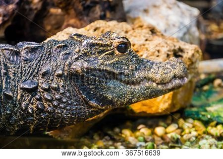 Closeup Of The Face Of An African Dwarf Crocodile, Vulnerable And Tropical Reptile Specie From Afric