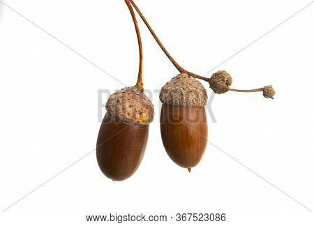 Brown Acorn Seed Isolated On White Background