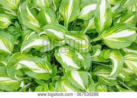 Green And White Lush Leaf Texture Background. Hosta Plant Natural Leaves Pattern With Dew Drops.leav