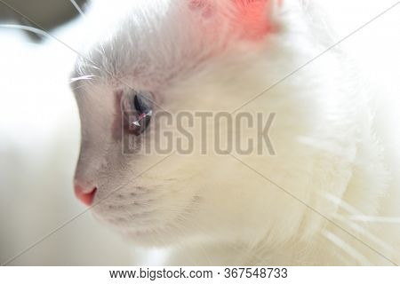 White Scottish fold cat with blue eyes in natural light