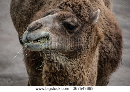 Bactrian Camel, Camelus Bactrianus Is A Large, Even-toed Ungulate Native To The Steppes Of Central A