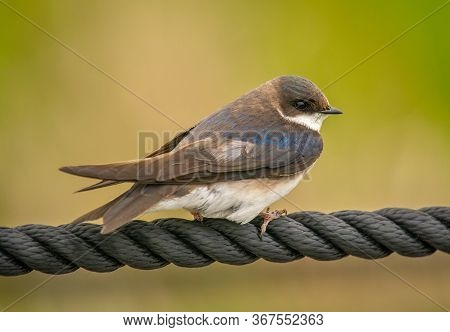 A Young Tree Swallow, Just Beginning To Acquire Its Blue Plumage, Rests On A Rope Along A Boardwalk