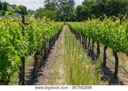 Vineyard In Napa Valley. Napa County, In Californias Wine Country. Vineyards Landscape.