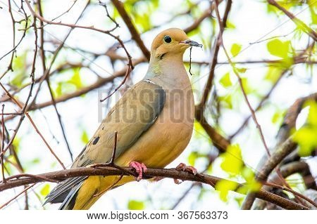 Cute Mourning Dove Portrait Close Up In Spring