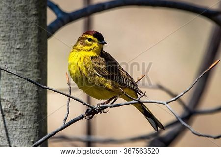 Cute Palm Warbler Portrait Close Up In Spring