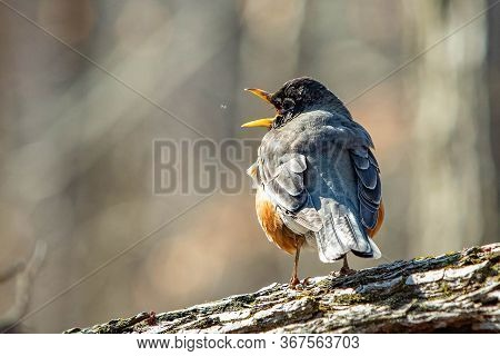 Cute Robin Bird Close Up Portrait In Spring