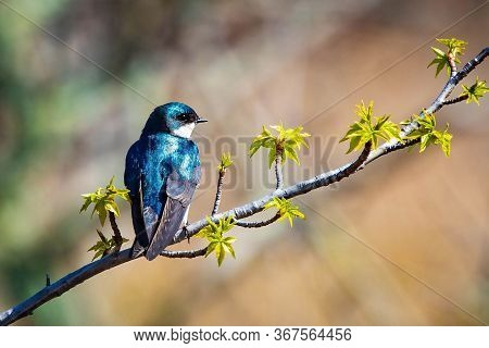Cute Tree Swallow Bird Close Up Portrait In Spring