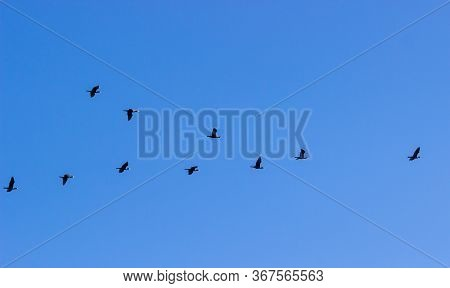 Cormorants Phalacrocorax Carbo Flying In A V Formation Against The Cloudy Sky. Birds Migration Conce