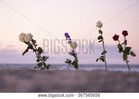 Funeral Flower, Lonely White And Red Rose Flower At The Beach, Water Background With Copy Space, Bur