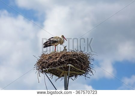 A White Stork With Black Bird Ring On His Leg Standing On Nest Made Of Twigs Placed On A Metallic Po