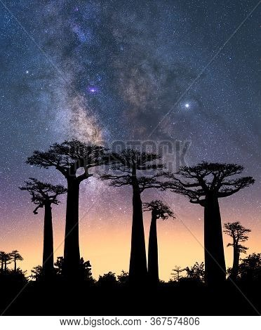 Typical Trees Of Madagascar Known As Adansonia, Baobab, Bottle Tree Or Monkey Bread With A Colorful