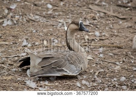 The Canadian Goose Is A Brown And White Goose
