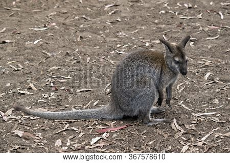 The Red Necked Wallaby Is Grey And Rufous Wallaby With A White Eye Brows.