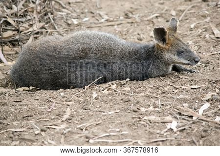 The Swamp Wallaby Is A Grey And Rufous Wallaby With White Cheeks