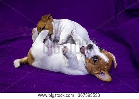 Cute Puppy Bitch Jack Russell Terrier Yawns Near A Gray Lantern With A Burning Candle On A Purple Be