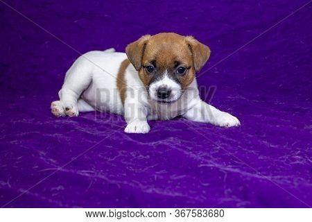 Jack Russell Terrier Puppy Bitch Puppy Lies On A Purple Bedspread. Puppy Food Advertisement