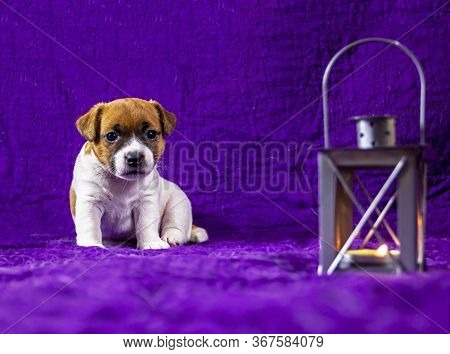 Beautiful Calm Puppy Bitch Jack Russell Terrier Sits On A Purple Bedspread Next To A Gray Lantern In