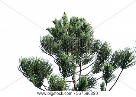 Pine Tree With Leaves Branches On White Isolated Background For Green Foliage Backdrop