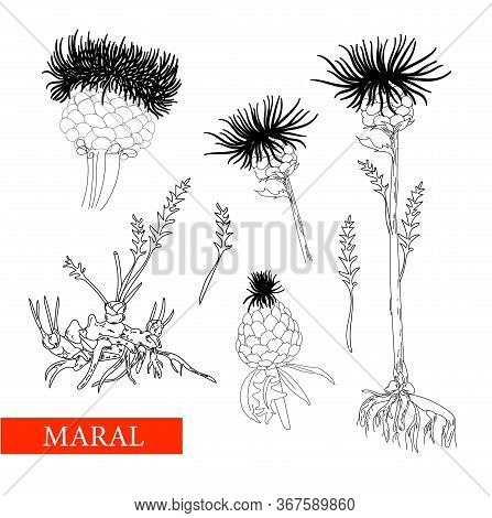 Perennial Herbaceous Plant Family Astral, Maral Root, Maral. Linear Drawing On A White Background Is