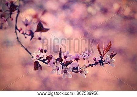 Spring - Springtime. Japanese Cherry Sakura. Beautifully Blooming Colorful Tree In Nature. Backgroun