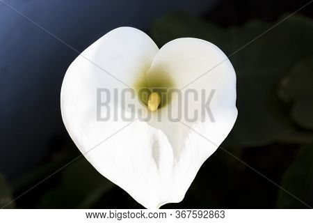 Close-up Arum Lily Flower In Garden. Selective Focus, Copy Space