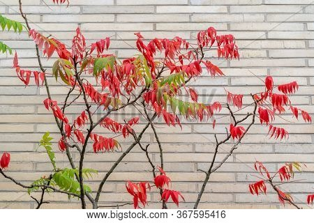 Side View Of Tree With Both Red And Green Leaves On It In Front Of White Brick Wall. Includes Copy S