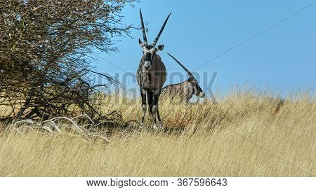Pair Of South African Oryx Or Gemsbok Standing On The Skyline In Tall Dry Grass In Savannah Grasslan