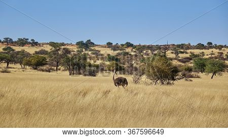 Wild Ostrich Walking Through Savannah Grassland In Namibia Dotted With Acacia Trees In A Wide Angle