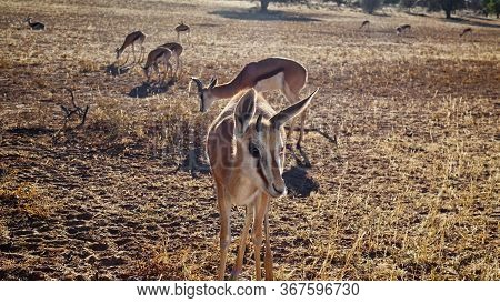 Curious Springbok Approaching The Camera Outdoors In A Dry Grassland Field In The Namibian Savannah