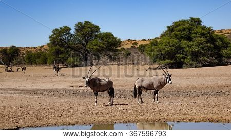 Back To Back, Two Oryx Guard The Area From A Water Hole In The Savanna Of Namibia, Africa. In The Ba