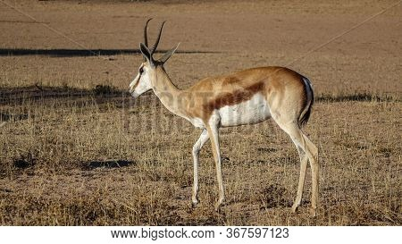 One Gazelle Standing Alone In Savannah On The Ground With Withered Grass. Viewed In Close-up From Th
