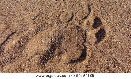 Wild Lion Footprint On Red Sand Of Savannah, Viewed From Above In Close-up And In Full Frame.