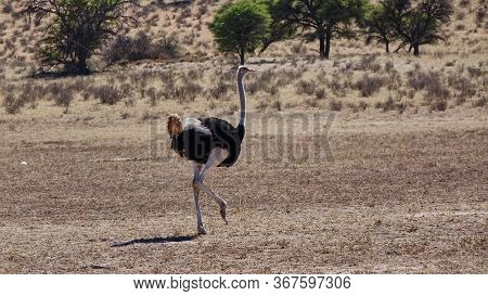 Ostrich Walks In The Dry Savannah Of Namibia.