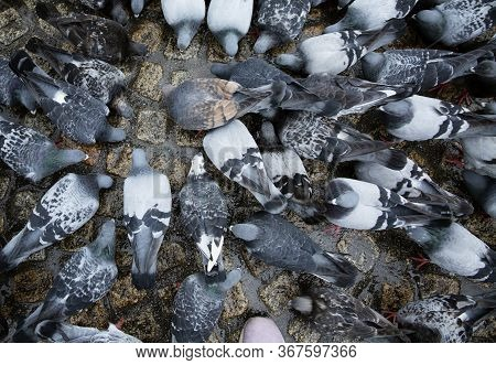 Many Pigeons Peck Food On The Cobblestone Pavement In The City. Top View.