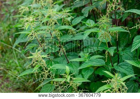 Thickets Of Stinging Green Nettles In The Garden. A Medicinal Plant That Can Provoke A Burn Of The S