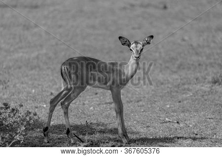 A Black And White Image Of A Young Impala In South Africa
