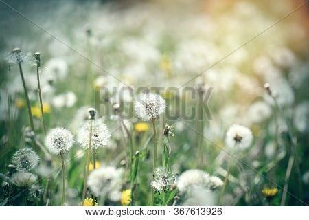 Dandelion Seed, Fluffy Blow Ball In Meadow, Beauty In Springtime