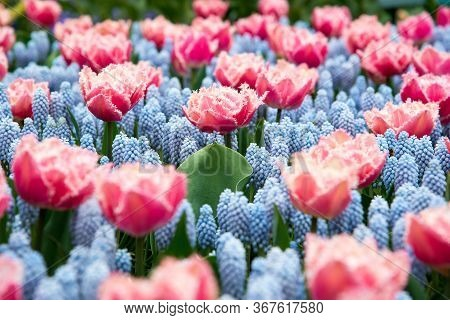 Beautiful Colorful Blooming Spring Flowers In Netherlands