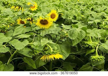 Sunflowers Field. Sunflower Natural Background, Flowering Sunflower, Sunflower Oil Improves The Heal