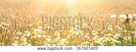 Golden Wheat Field, Defocused Chamomile In Front Of Wheat, Beautiful Landscape In Sunset