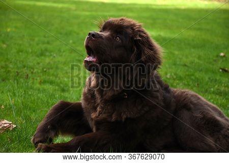 Super Cute Brown Newfoundland Dog Resting In Green Grass.