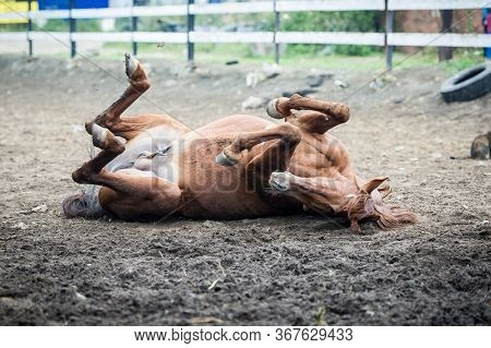 Horse Lying On His Back On The Ground. Horse Wallowing In Dust