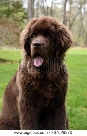 Springtime Looking Super Cute With A Chocolate Brown Newfoundland Dog.