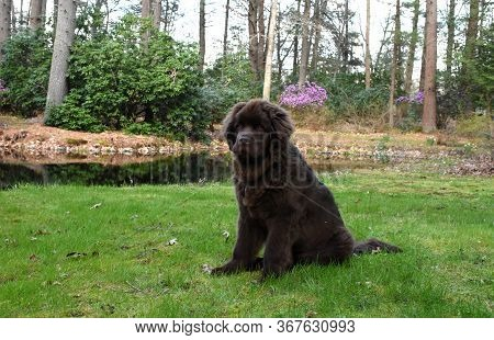 Big Newfoundland Pup Sitting Beside A Pond.
